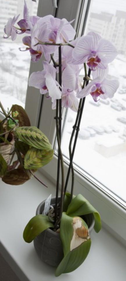 Без рулонных штор на окне орхидея получит ожог