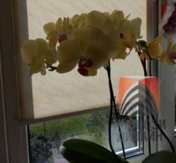 Орхидеи на южном окне притеняются орхидеями