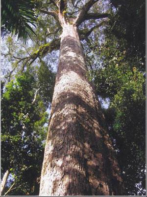 Дерево Abachi