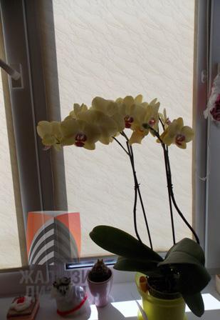 Окно, на котором живет орхидея, притеняется рулонной шторой